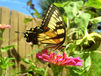 Black and Yellow Swallowtail on Dahlia